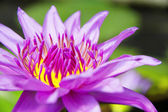 Pink Lotus Flower close-up — 图库照片