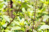 Holy basil flower — Stock Photo