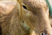 Close up of Axis Deer face — Stock Photo