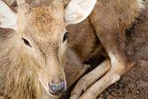 Axis Deer — Stock Photo