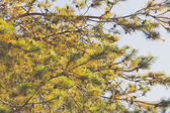 Japanese red pine — Stock fotografie