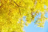 Colorful autumn Bald Cypress tree — Stock Photo