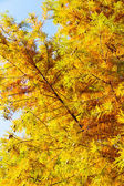 Colorful autumn Bald Cypress tree — Stock Photo