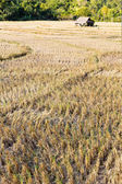 Rural field after the rice harvest — Stok fotoğraf