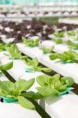 Hydroponics vegetable farm — Stock Photo