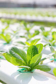 Hydroponics vegetable farm background — Stock Photo