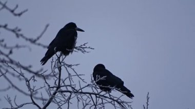 Crow on a tree — Stock Video