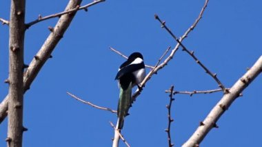 Magpie on a tree — Stock Video