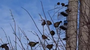Sparrows on a tree — Stock Video