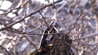Woodpecker on a tree — Stock Video