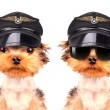 Dog  dressed as pilot — Stock Photo #58105267