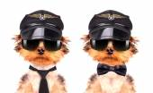 Dog  dressed as pilot — Stok fotoğraf
