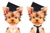 Graduated dog — Stock Photo