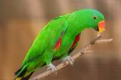 Beautiful Chattering Lory Lorius on a branch — Stock Photo