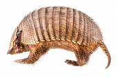Stuffed Armadillo — Stock Photo