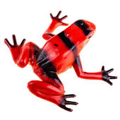 Red frog — Stock Photo