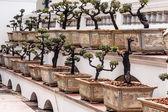 árboles bonsái — Foto de Stock