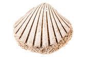 Fossil seashell — Stock Photo