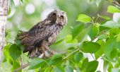 Wet Owlet — Stock Photo