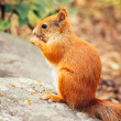 Squirrel red fur with nuts and summer forest on background wild nature animal thematic (Sciurus vulgaris, rodent) — Stock Photo #53403059