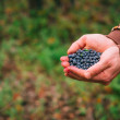 Blueberry fresh picked organic berries food in man hands Healthy Lifestyle northern forest recreation — Stock Photo #53403437