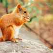 Squirrel red fur with nuts and summer forest on background wild nature animal thematic (Sciurus vulgaris, rodent) — Stock Photo #53408669