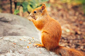 Squirrel red fur with nuts and summer forest on background wild nature animal thematic (Sciurus vulgaris, rodent) — Stock Photo