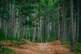 Coniferous deep Forest and road beautiful green summer landscape — ストック写真