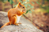 Squirrel red fur with nuts and summer forest on background wild nature animal thematic (Sciurus vulgaris, rodent) — Foto Stock