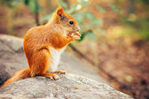 Squirrel red fur with nuts and summer forest on background wild nature animal thematic (Sciurus vulgaris, rodent) — Stock fotografie
