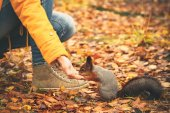 Squirrel eating nuts from woman hand and autumn leaves on background — ストック写真