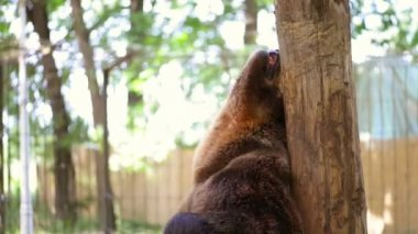 Bear Scratching at Zoo — Stock Video