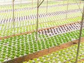 Hydroponic vegetables — Stock Photo