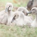 Goslings on grass — Stock Photo #65630137