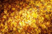 Texture of autumn maple leaves — Stock Photo