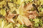 Texture of autumn maple leaves — Foto Stock