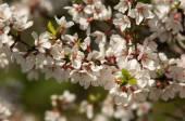 Prunus tomentosa — Stock Photo