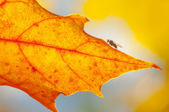 Texture of autumn maple leaves — Stock Photo