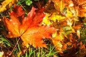 Texture di foglie di acero autunno — Foto Stock
