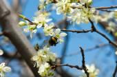Fleurs de pomme — Photo