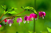 Lamprocapnos spectabilis. bleeding heart. Asian bleeding-heart.  — Stock Photo