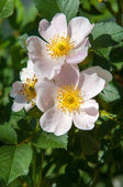 Dog-rose, briar, brier, canker-rose, eglantine — Stock Photo