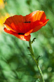 Poppy. a herbaceous plant with showy flowers — Stock Photo