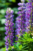Lupine, lupin — Stock Photo
