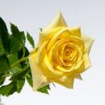 Flower  rose — Stock Photo #68765903