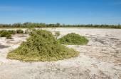 Steppe saline soils — Stock Photo