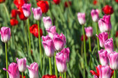 Tulips. Bulbous plant seeds. lily flowers with large, cup-shaped — Stock Photo
