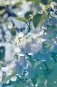 Flowers of apple — Stock Photo