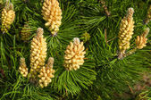 Young shoots of pine — Stock Photo
