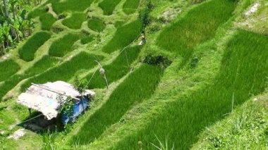 Rice terraces. The island of Bali. Indonesia. — Stock Video
